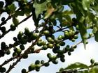 Saca do café atinge o maior valor dos últimos anos no mercado