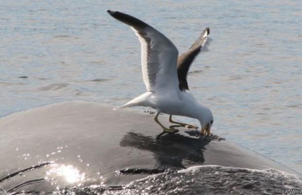 Aparentemente, se trata de um comportamento adquirido e repassado de geração para geração de gaivotas (Foto: BBC)
