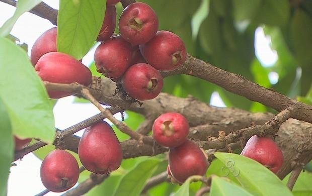 Fruta é de origem indiana (Foto: Rondônia TV)
