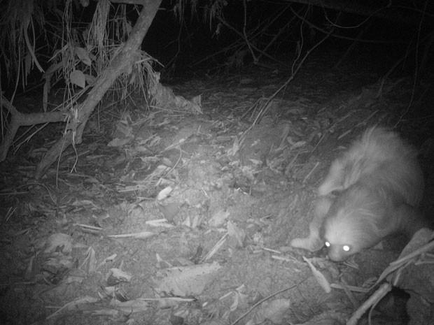 No período noturno, as câmeras registraram um bicho-preguiça se arrastando pelo chão (Foto: Divulgação/André Botelho)