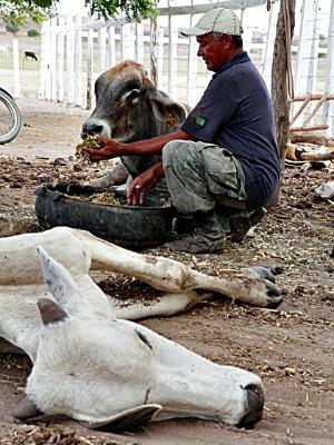 Fracos, bois têm de receber alimento (Foto: Wellington Macedo/Arquivo Pessoal)