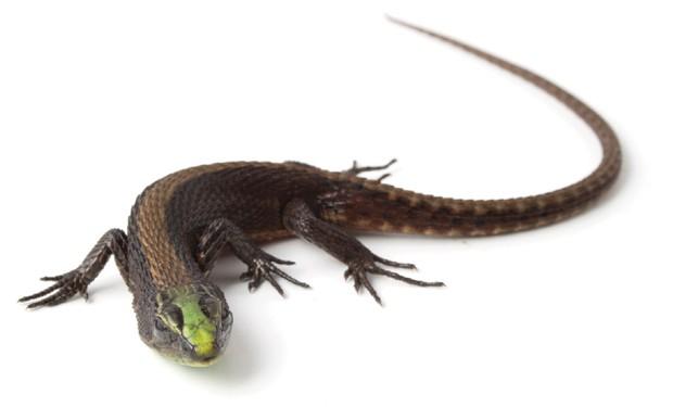 Macho da nova espécie de lagarto, Alopoglossus viridiceps, que mede cerca de 5 cm (Foto: Torres-Carvajal/Divulgação)