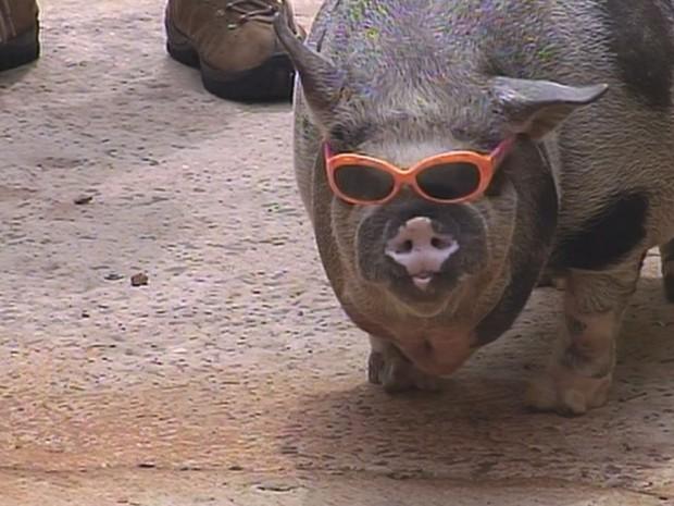 Porco Rabicó usa óculos de sol para proteger a vista. (Foto: Reprodução/TV TEM)