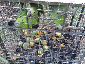 Aves passarão por laudo veterinário e serão encaminhadas para uma associação (Foto: Polícia Ambiental/Divulgação)