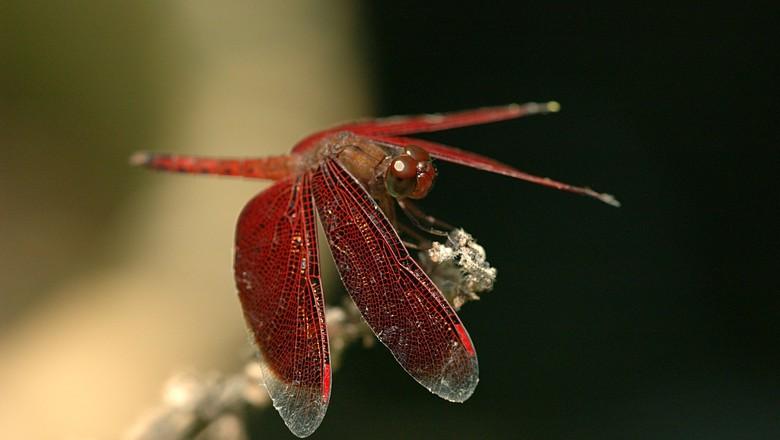 libelula-controle-biologico-horta (Foto: Creative Commons)