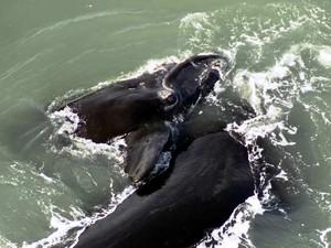 Baleias foram vistas no litoral catarinense (Foto: Paulo Flores/ICMBio/PBF-Brasil)