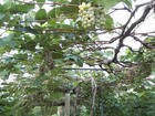 Produtor aposta em cultivo de uva no sul do Tocantins