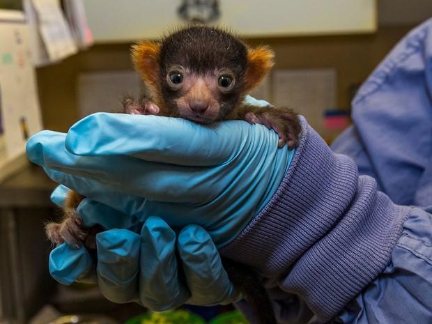 Filhote de lêmure red ruffed nascido em 18 de maio é apresentado por funcionário do Zoo de San Diego, nos EUA (Foto: Divulgação/San Diego Zoo)