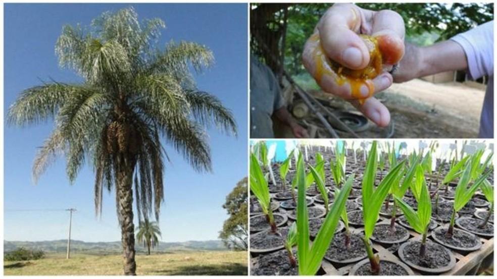 Palmeira, fruto e plantação de mudas de macaúba: potencial de espécie nativa anima pesquisadores pelo país  (Foto: Divulgação)