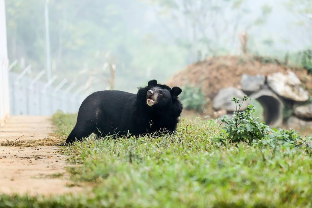 Ursa Hai Chan caminha na grama pela primeira vez. (Foto: Cortesia: Four Paws)