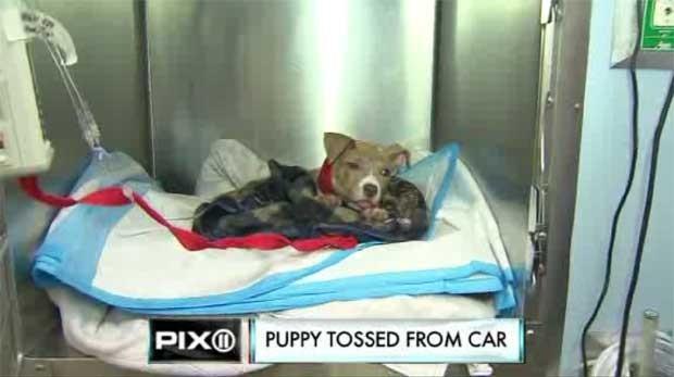 Cão ganhou o nome de joey após sobreviver a ser lançado de carro em movimento nos EUA (Foto: Reprodução)