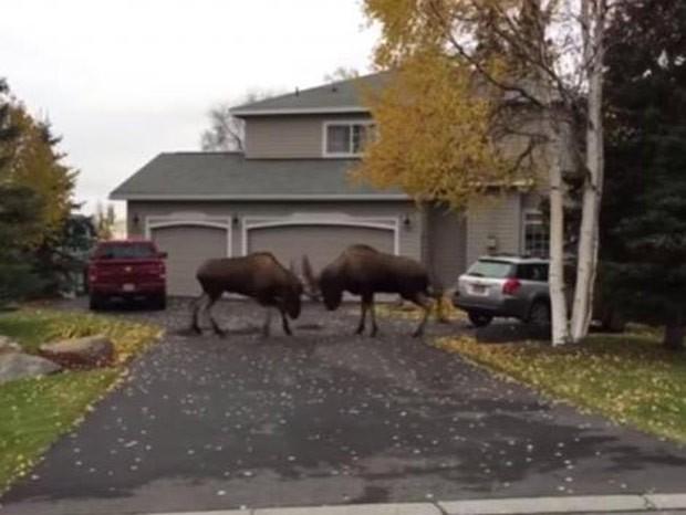 Alces brigaram por fêmea no quintal de casa no Alasca (Foto: Reprodução/YouTube/Kelli)
