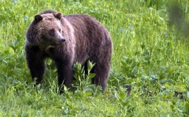 Ataques de ursos são raros na região, dizem autoridades  (Foto: AP)