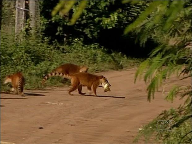 Quatis invadem plantação de milho e furtam espigas estudadas por pesquisadores da UFT (Foto: Reprodução/TV Anhanguera)
