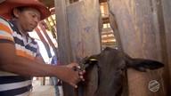 No Pantanal, produtores apostam em dois sistemas de criação de gado