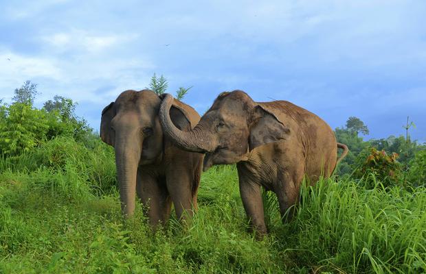 Elefantes asiáticos demonstram comportamento de consolo (Foto: E. Gilchrist / Golden Triangle Asian Elephant Foundation / PeerJ)