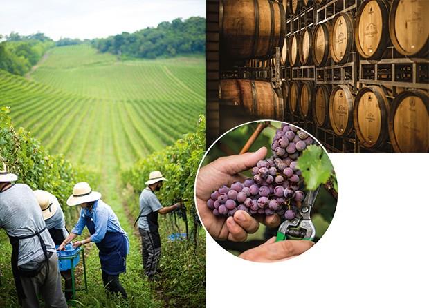 Lifestyle;Dia de Colheita;Vinho;A escolha das uvas. Ao lado, tonéis de madeira com vinho. No detalhe, a fruta no caule (Foto: Carol Gherardi)