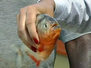 Piranhas atacam tilápias e destroem redes de pesca em Linhares, Espírito Santo. (Foto: Reprodução/TV Gazeta)