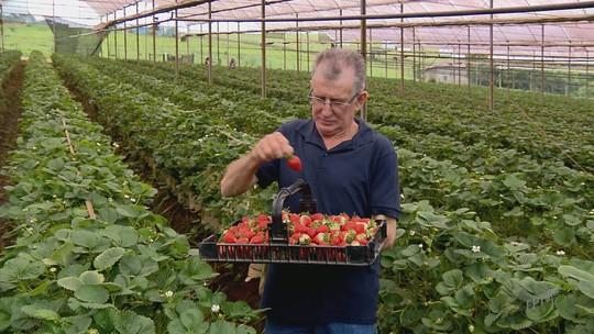 Produtor do Sul de MG desenvolve 1ª variedade brasileira de morango
