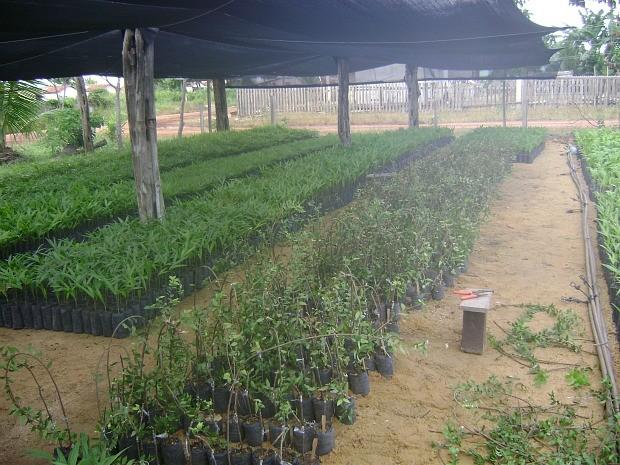 Fruto tem potencial para agronegócio (Foto: Kaoru Yuyama)