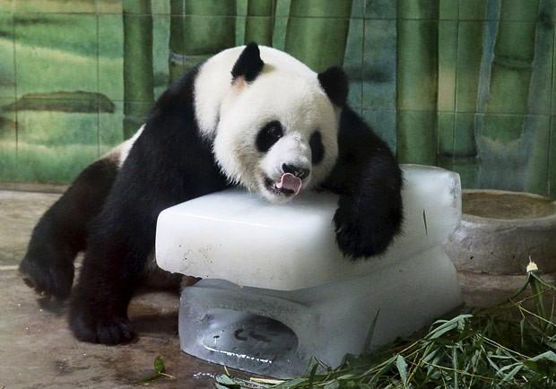 Panda-gigante 'parecia' acabado ao ser fotografado descansando sobre barras de gelo (Foto: Reuters)
