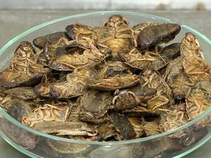 Baratas cinérea utilizadas na farinha (Foto: Reprodução/RBS TV)