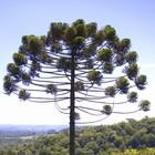 13 mil hectares de araucárias são preservados  (Spry Vídeo/Divulgação)