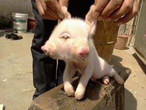 Porco tem dois focinhos e três olhos (Foto: Wei Dongsheng/ImageChina/AFP)