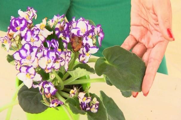 jc45555_dica_violeta_300714.jpg