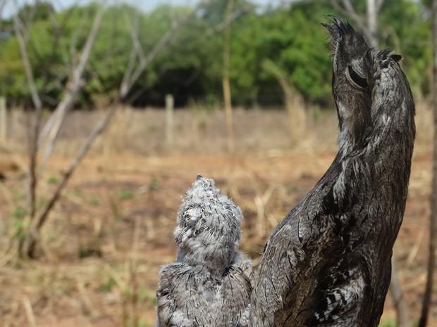 O urutau passa horas imóveis, na mesma posição, para se proteger dos predadores (Foto: Rafael Chaves/VC no G1)