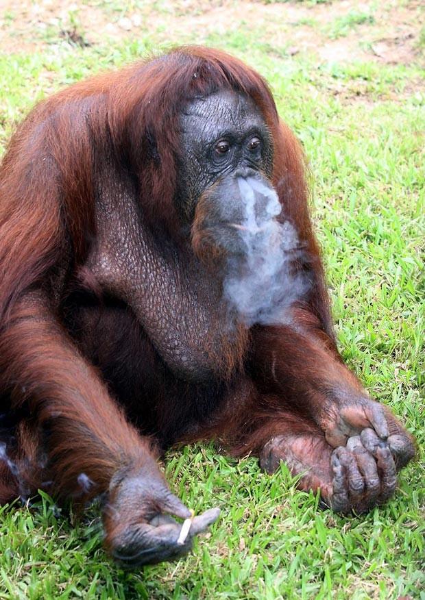 Em 2011, as autoridades da Malásia decidiram acabar com o vício da orangotango Shirley, que ficou conhecida pelo hábito de fumar. Ela ganhou fama por fumar cigarros oferecidos por visitantes no zoológico de Johor Bahru. (Foto: AP)