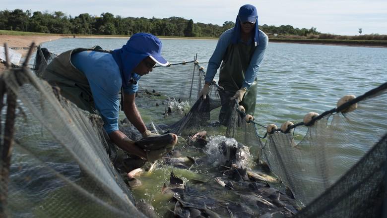 aquicultura_peixe (Foto: José Medeiros/Ed. Globo)