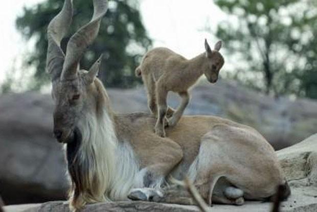O markhor é conhecido por seus chifres em parafuso. (Foto: Grahm Jones/Columbus Zoo/Divulgação)