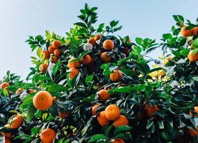 laranja-laranjeira (Foto: Unsplash/Creative Commons)