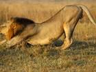 Leões são flagrados pela 2ª vez em 1 mês circulando pela capital do Quênia