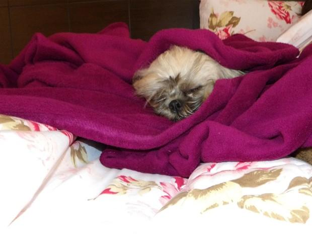 Em pleno Dia dos Namorados, a cachorrinha Perola passou o dia dormindo embaixo das cobertas em Bebedouro (SP) (Foto: Felipe do Carmo/ VC no G1)