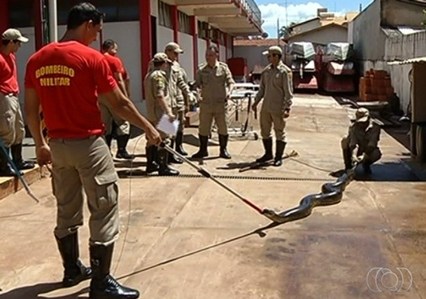 Equipe do Corpo de Bombeiros capturou sucuri, em Itumbiara, Goiás (Foto: Reprodução/ TV Anhanguera)