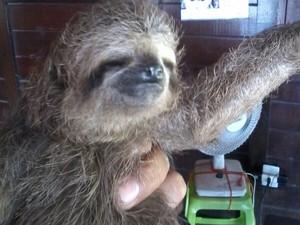 Bicho-preguiça Fêmea Encontrado Belém Pará (Foto: Divulgação/BPA)