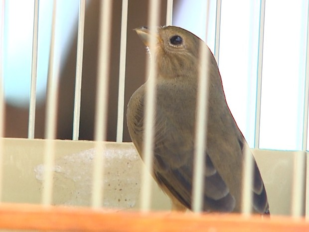 Aves apreendidas passarão por avaliação veterinária e serão soltas (Foto: Maurício Glauco/EPTV)