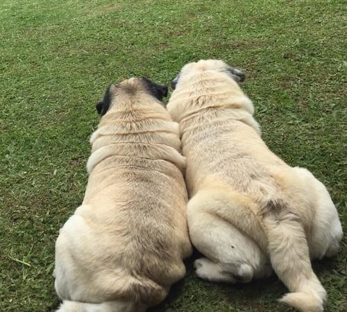 Casal de cães (Foto: Fernanda Fragata)