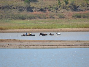 Cavalos atravessam lago, trajeto só possível com balsa no Pontalete, em Três Pontas (Foto: Samantha Silva / G1)