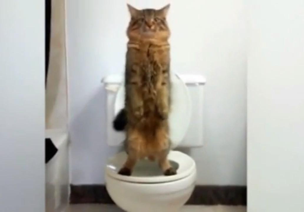 Gato canadense foi trenado para usar o vaso sanitário