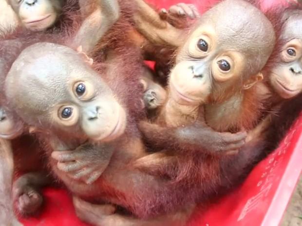 Orangotangos estão sendo preparados para voltar à vida selvagem  (Foto: BBC)