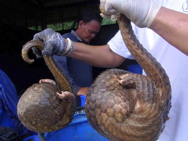 Pangolim é único mamífero do mundo coberto por escamas (Foto: AP)