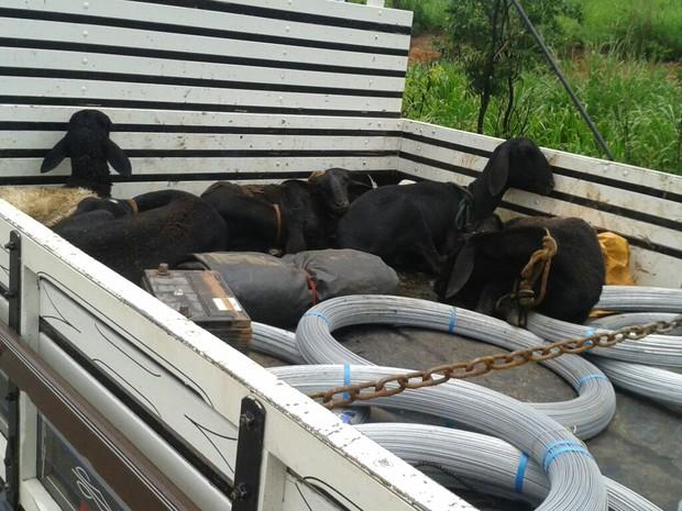 Ovelhas foram amarradas pelo pescoço e patas em caminhão que as levaria para Arinos (Foto: Divulgação/Polícia Militar Ambiental)