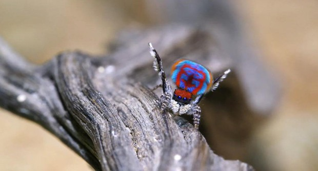 As aranhas-pavão têm esse nome por causa das cores brilhantes (Foto: BBC)