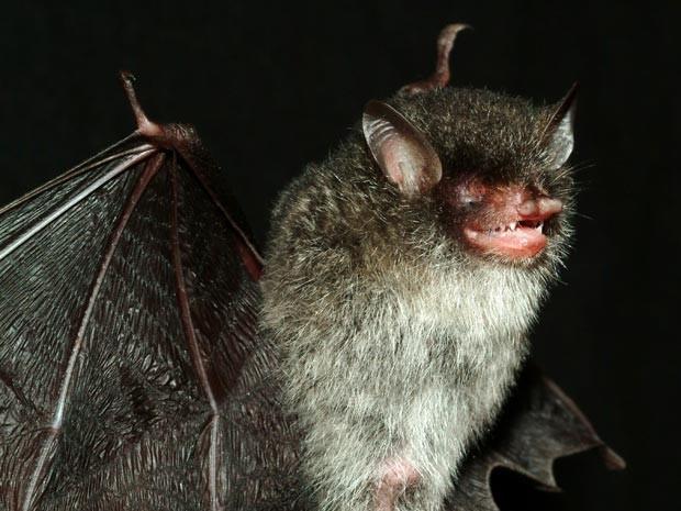 Morcego foi descoberto na região central do Vietnã (Foto: Gabor Csorba/WWF/AFP)