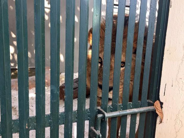 Leão Dengo atrás de portão (Foto: CPI dos Maus-Tratos/Reprodução)