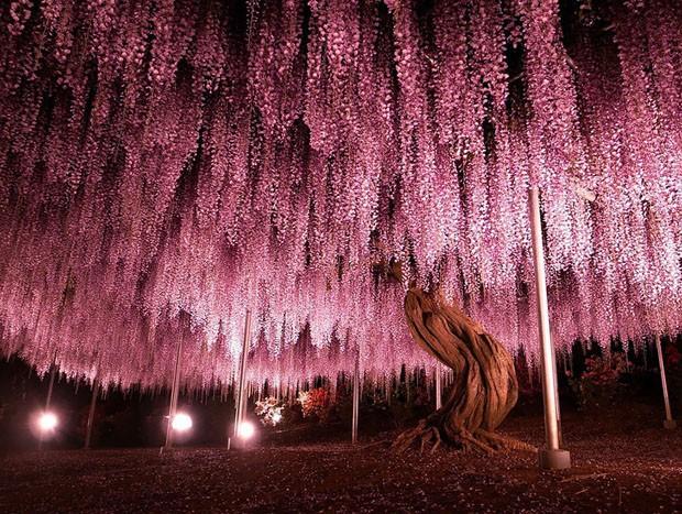 Glicínia japonesa (Foto: Divulgação)