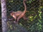 Saiba como proteger os macacos, primeiras vítimas da febre amarela